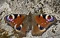 Peacock (17105354567).jpg