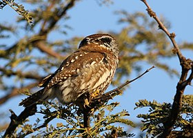 Pearl-spotted Owlet, Glaucidium perlatum, at Pilanesberg National Park, Northwest Province, South Africa (28275339756).jpg