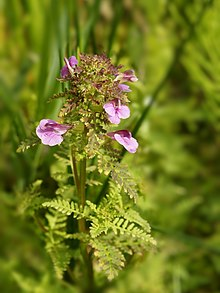 Pedicularis palustris (plant).jpg
