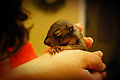 Pedro, the baby squirrel (6133453403).jpg