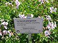 Pelargonium peltatum sign.jpg