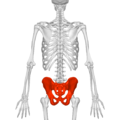 Pelvis (male) 01 - posterior view.png