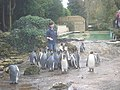 Penguin feeding time at Birdland - geograph.org.uk - 1135551.jpg