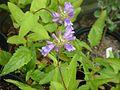 Penstemon serrulatus - Flickr - peganum (2).jpg