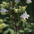 Penstemon strictus ssp. strictiformis-IMG 3602.jpg