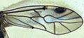 Peripsocus maoricus.jpg