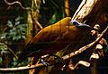 Perissocephalus tricolor Parc des Oiseaux 21 10 2015 2.jpg
