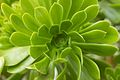 Peru - Cusco 183 - beautiful green flower (8111196459).jpg