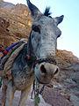 Petra - Enslaved donkeys. (9779208034).jpg