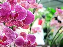 Phalaenopsis-SingaporeBotanicGardens-20041201.jpg