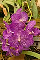 Phalaenopsis ou orchidée papillon.jpg