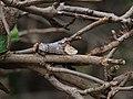 Phalera bucephala, Mondvogel 6.JPG