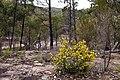 Phebalium whitei, habitat (22372454982).jpg