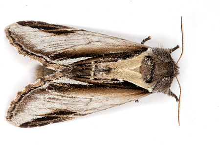 Pheosia gnoma, Lodz(Poland)02(js).jpg