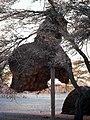 Philetairus-socius-nest.jpg