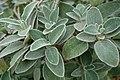 Phlomis fruticosa L., Verbascum salvifoiium (Hortus Botanicus Leiden NL).jpg