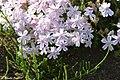Phlox Flower (117290507).jpeg