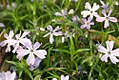 Phlox subulata Oakington Blue Eyes 1zz.jpg