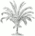 Phoenix reclinata.png