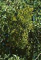 Phoradendron serotinum tomentosum 1.jpg
