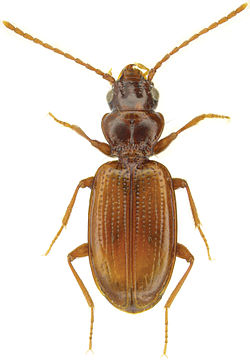 Phrypeus rickseckeri (Hayward) - ZooKeys-245-001-g023.jpeg