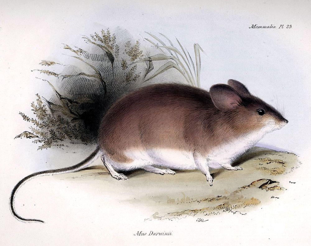 The average litter size of a Darwin's leaf-eared mouse is 4