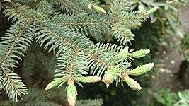 Picea pungens in spring.jpg