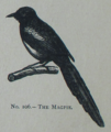 Picture Natural History - No 106 - The Magpie.png