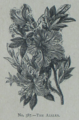 Picture Natural History - No 387 - The Azalea.png