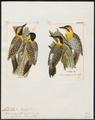 Picus - 1700-1880 - Print - Iconographia Zoologica - Special Collections University of Amsterdam - UBA01 IZ18700333.tif