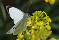 Pieris brassicae - Large White butterfly.JPG