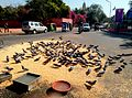 Pigeons enjoying morning meal in jaipur.jpg
