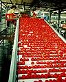 PikiWiki Israel 10098 Gan-Shmuel - sort tomato industry 1987.jpg