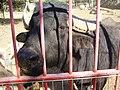 PikiWiki Israel 15356 Buffalo in Kibbutz Hagoshrim.JPG