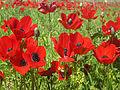 PikiWiki Israel 18425 Field of poppies.jpg