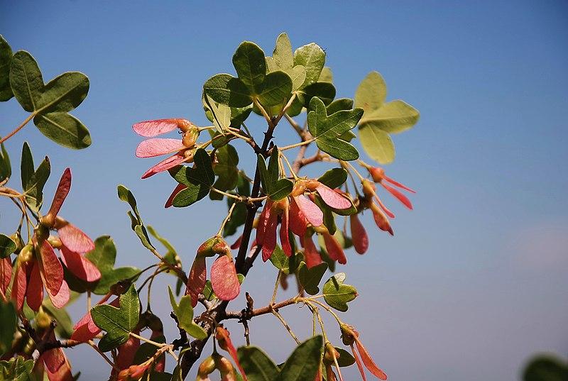 צמחיית הגולן