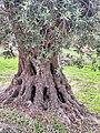 PikiWiki Israel 74006 old olive tree.jpg