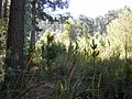 Pine seedlings from commercial plantations growing into surrounding Fynbos. Newlands Cape Town.JPG