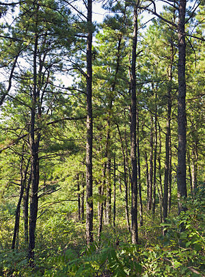 Albany Pine Bush - Pines in the preserve
