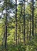 Pines in the Albany Pine Bush Preserve.jpg