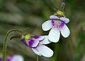Pinguicula vulgaris subsp. bicolor 01.jpg