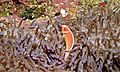 Pink Anemonefish (Amphiprion perideraion) (6055872839).jpg