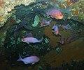 Pink Maomao - Caprodon longimanus - Poor Knights Islands.jpg