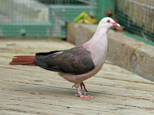 Pink pigeon - Specimen at San Diego Zoo