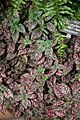 Pink Polka-Dot Plant (Hypoestes phyllostachya) (3104109854).jpg