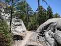 Pinus arizonica Mount Lemmon.jpg