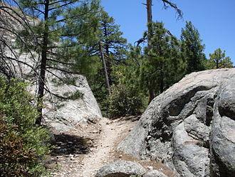 Pinus arizonica - P. arizonica forest, Mt. Lemmon, AZ