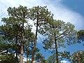 Pinus engelmannii Lawton.jpg
