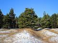 Pinus forest in Volgograd Oblast 001.jpg