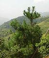 Pinus massoniana LongShen.jpg